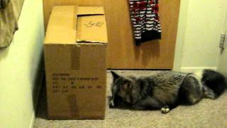My Pet Fox: Abby playing with a Cat in a box