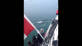 Beluga Whales, Gulf of St. Lawrence