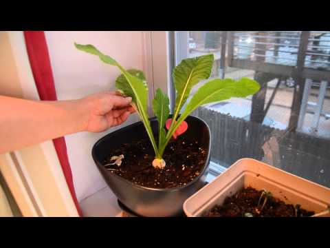 Growing turnip in containers indoors - 2014
