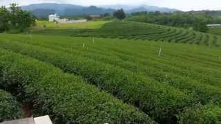 ไร่ชาฉุยฟง แม่จัน เชียงราย รีวิว Thai Choui Fong Tea Chiang Rai Video Review.2
