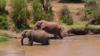 Эротика у слонов - 9 1/2 недель в дикой природе Африки Erotica Love of elephants Episode 02
