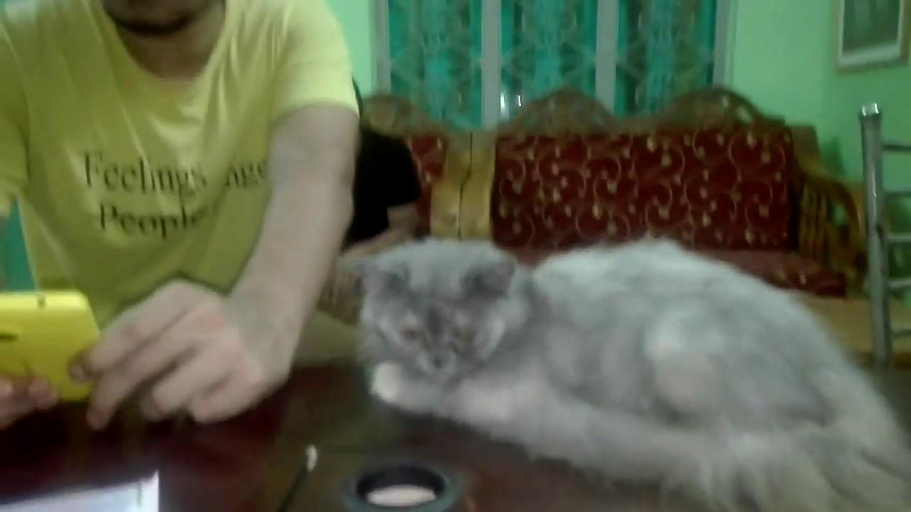 Pet Care in Dhaka Persian Cat Dr Sagir s Pet