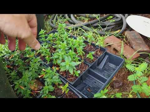 Cigar Plant Propagation Update 1