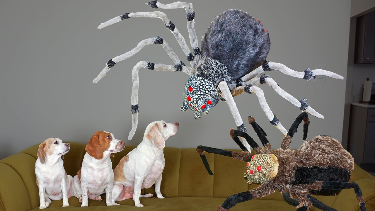 Dogs vs Giant Spider Invasion Prank! Funny Dogs Maymo, Penny & Potpie Battle Spiders for Halloween
