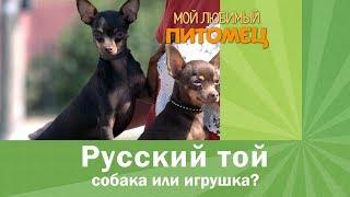 Русский той. Как воспитать собаку