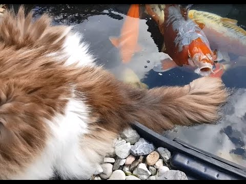 Cat cools his tail in Koi pond      (Timo the Ragdoll Cat)