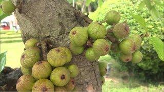 Cây đạt giải vàng ở triển lãm SVC Thái Nguyên và chủ nhân rất mê cây - bonsai tree won gold medal