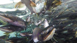 知床の川、ひしめく1千匹 カラフトマス遡上が本格化