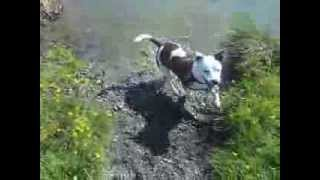 Staffy Cross Jack Russell Having Fun In The Lake.