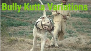 "BULLY KUTTA DOG ""BEAST ""VARIATIONS"
