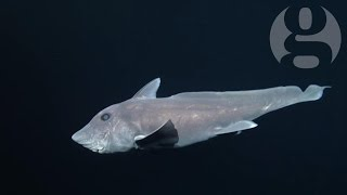 Rare ghost shark caught on film for the first time –