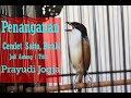Suara Burung Tips Prayudi Jogja Sulap Cendet Salto Birahi Jadi Nagen  Titik  Mp3 - Mp4 Download