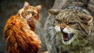 Как человек приручил кошку? И зачем он это сделал ГЛУПЕЦ)