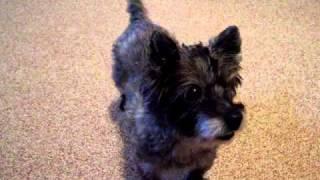 Nikki - Cairn Terrier - My Baby