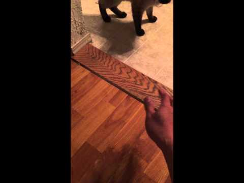 Training a Siamese cat to play fetch