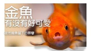 『水族系列 ep18』水族教學 | 夜市撈金魚不會養?這邊教你金魚怎麼養!金魚養殖教學~