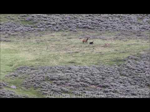 Yellowstone wolves catch elk calf