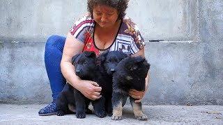 Щенки Немецкой овчарки черные и черноподпалые. Puppies German Shepherd 1.5 months.