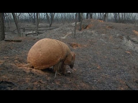 Forest floor scattered with ash and dead animals as Bolivia battles its own vast Amazon fires