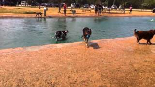 German Shepherd Jumps Into The Water At The Dog Park