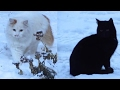 [Cat videos]  Cats walking on the snow - black cat and white cat