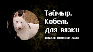 Таймыр – кобель западно-сибирской лайки для вязки.