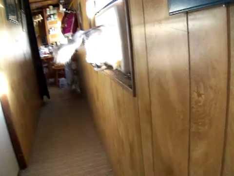 Munchkin Cat Jumping Gif