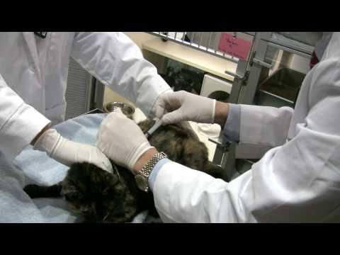 Treating A Hyperthyroid Cat With Subcutaneous Injection Of Radioiodine