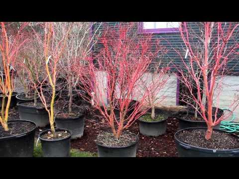 Winter color japanese maple trees - Bihou