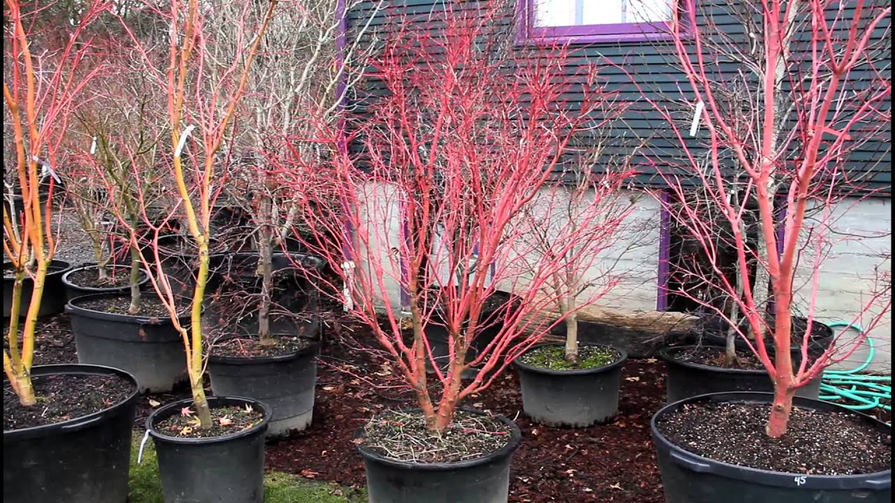 Comparing Winter Bark Color Of Japanese Maples Amazing Maples