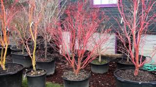Winter color japanese maple trees - Bihou