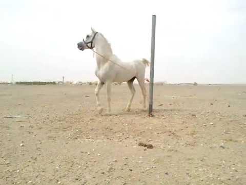 حصان عربي اصيل فحل مصري بيور مواليد 1994 للبيع Youtube