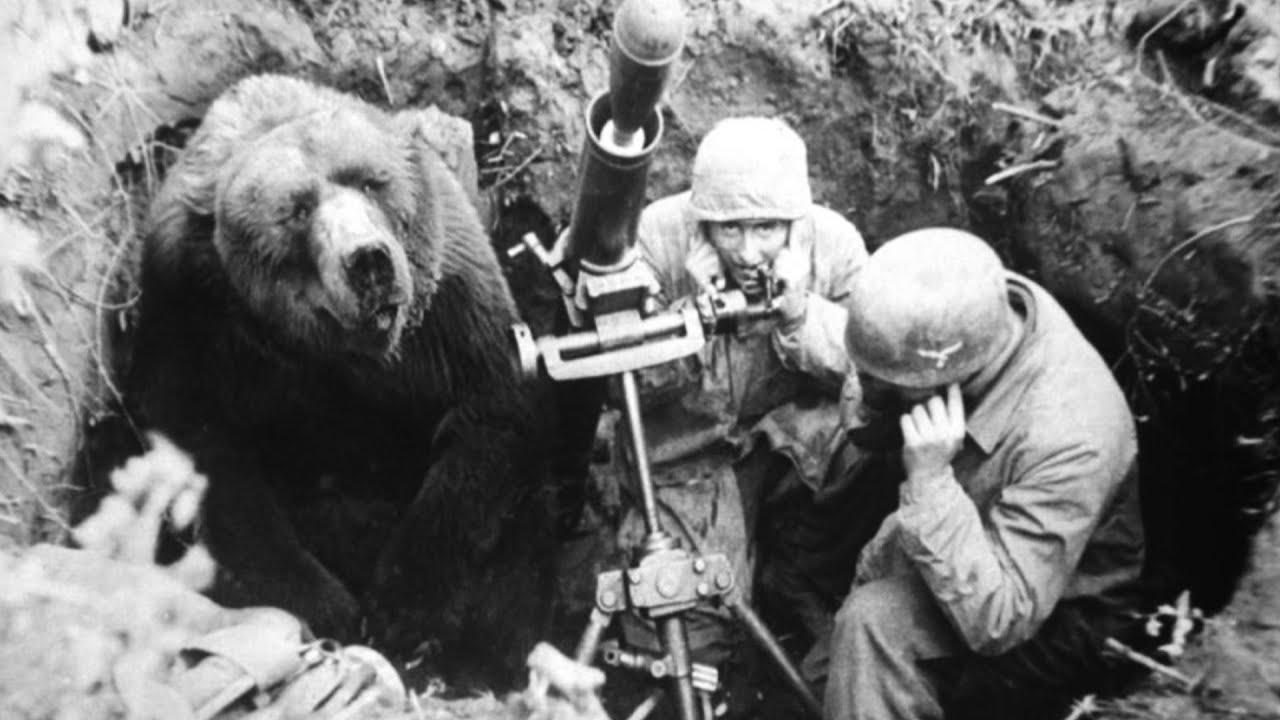 Beruang, Pahlawan Pertempuran Monte Cassino di Perang Dunia II