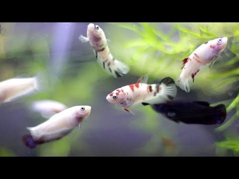 BETTAFISH BREEDING (Part 3) - FEEDING and REMOVING FEMALE betta out of THE TANK!