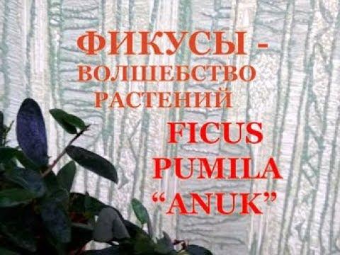 """Обзор ФИКУСА pumila """"ANUK"""". Комнатное цветоводство"""