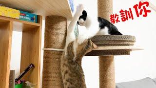 貓咪小短篇-黑妞跟黑輪的日常▲叫我姐姐