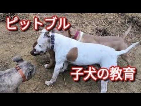 【ピットブル】ポチ子犬の教育 Dog Rescue