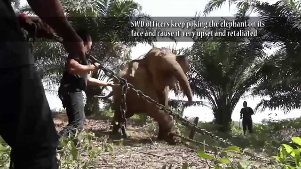 Elephant Abuse By Sabah Wildlife Department Wildlife
