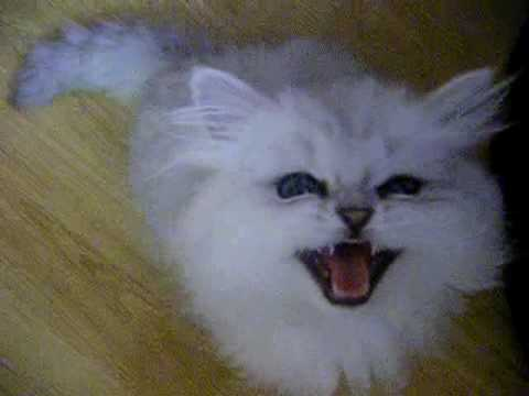 persian chinchilla kitten following and crying - YouTube