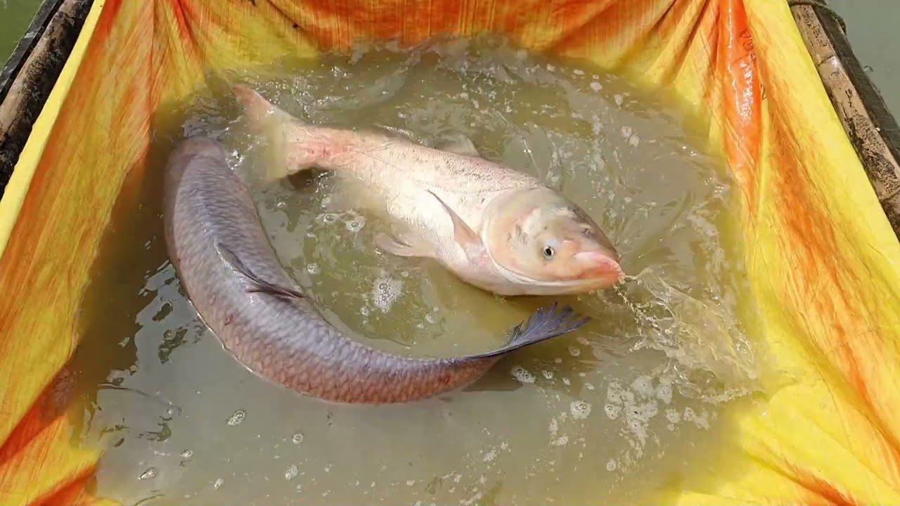 3 Big Fish Catch in Cast Net   Nice Fishing Video