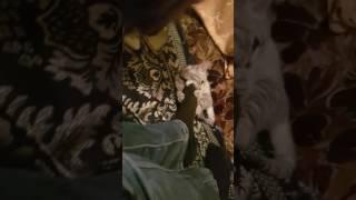 Котенок Снежного барса откусил ногу хозяину