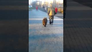 По городу Апатиты гуляет .... медведь)