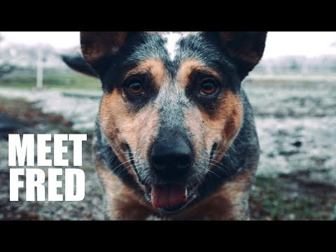 BLUE HEELERS ARE COOL DOGS - MEET FRED