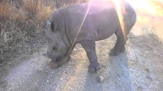 Gertjie playing with a rock