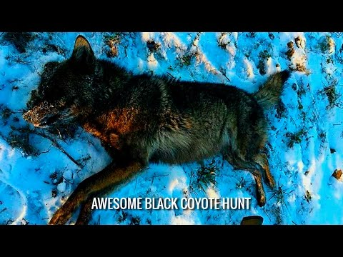 Awesome Black Coyote Hunt