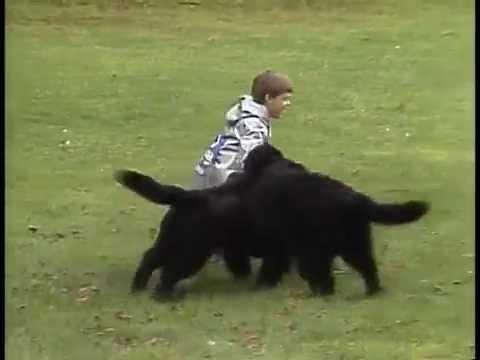 Newfoundland - AKC Dog Breed Series