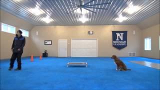 Chief (nova Scotia Duck Tolling Retriever) Boot Camp Trained Dog Video