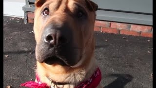 Kai The Shar Pei Train Station Suitcase Dog Has A New Home!