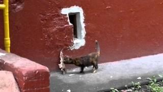 Сrazy cat!!! Очень смешное видео!!! Кошка с рыбой не пролезает в подвал.