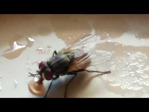 How housefly sucks food || Housefly eating food